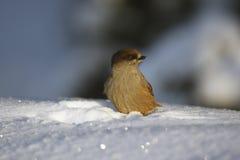 Siberian jay, Perisoreus infaustus Stock Photography