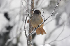 Siberian jay, Perisoreus infaustus Royalty Free Stock Photos