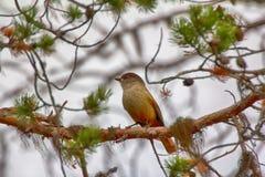 Siberian Jay Perisoreus infaustus is very kind and funny taiga bird. Royalty Free Stock Images