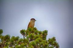 Siberian Jay Perisoreus infaustus is very kind and funny taiga bird. Royalty Free Stock Photos