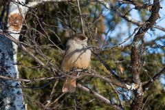 Siberian jay in the reserve Ylläs (Finland) Royalty Free Stock Photo
