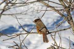 Siberian jay in the reserve Ylläs (Finland) Stock Image