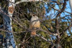 Siberian jay in the reserve Ylläs (Finland) Royalty Free Stock Images