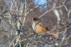 Siberian jay in the reserve Ylläs (Finland) Stock Photography