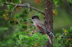 Siberian jay sit in the pine, sweden Stock Photos