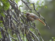 Siberian Jay sitting on the fir branch royalty free stock photo