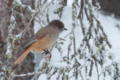 Siberian jay sitting on old branches Stock Photography