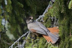 Siberian jay Stock Photos