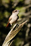 Siberian Jay on tree branch Stock Photo