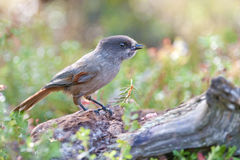 Siberian jays in the Finnish woods royalty free stock images