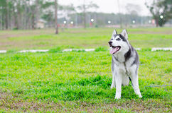 Siberian junior background. That stand on grass Royalty Free Stock Images