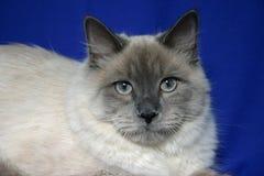 Siberian katt Royaltyfria Foton