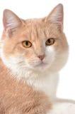 Siberian katt Fotografering för Bildbyråer
