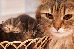 Siberian katt Arkivfoto