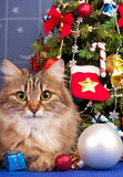 Siberian katt Royaltyfria Bilder