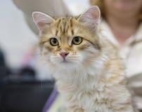 Siberian katt Royaltyfri Bild