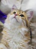 Siberian katt Arkivbild