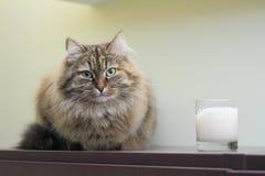 Siberian katt, kvinnlig Fotografering för Bildbyråer
