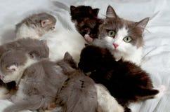 Siberian katt med kattungar Arkivfoto