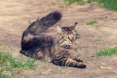 Siberian katt som ligger i gården Arkivbilder