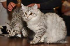 Siberian katter Arkivfoton