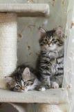 Siberian kattungar royaltyfria foton