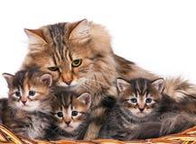 siberian kattungar Fotografering för Bildbyråer