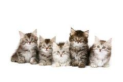 siberian kattungar Arkivbilder