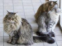 Siberian kattungar i trädgården Fotografering för Bildbyråer