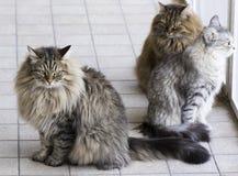 Siberian kattungar i trädgården Royaltyfria Bilder