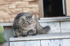 Siberian kattunge Royaltyfria Bilder