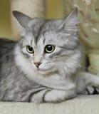 Siberian kattunge Royaltyfria Foton