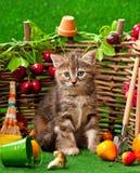 Siberian kattunge Arkivfoto