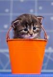 Siberian kattunge Royaltyfri Bild