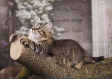 Siberian kattunge Royaltyfri Foto