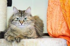 Siberian kattunge, brun version Arkivfoton