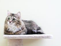 Siberian kattunge, brun version Royaltyfri Bild