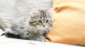 Siberian kattunge, brun version, valp Arkivbilder