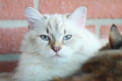 Siberian kattunge, nevamaskeradversion Royaltyfri Foto
