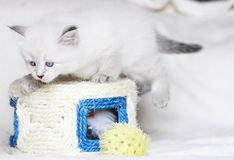 Siberian kattunge, nevamaskeradversion, valp Royaltyfri Bild
