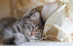 Siberian kattunge på en skrapande stolpe Royaltyfri Bild
