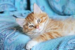 Siberian kattunge på en soffa Royaltyfri Bild