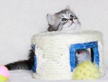 Siberian kattunge, silverstrimmig katt Arkivfoto