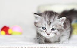 Siberian kattunge, silverversion Royaltyfri Bild