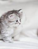 Siberian kattunge, silverversion Royaltyfri Foto