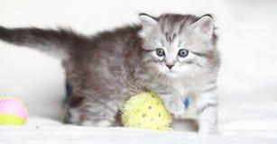 Siberian kattunge, silverversion Fotografering för Bildbyråer