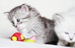 Siberian kattunge, silverversion Royaltyfria Bilder