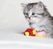 Siberian kattunge, silverversion Arkivfoton