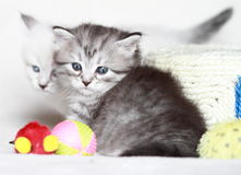 Siberian kattunge, silverversion Arkivbilder