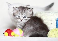 Siberian kattunge, silverversion Royaltyfria Foton